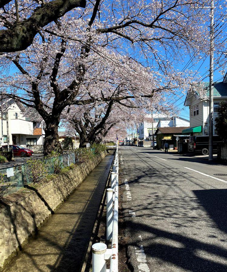 新川の桜並木...